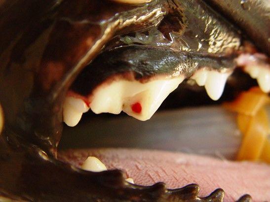 犬の変形歯(へんけいし)【間違いやすい病気は?】
