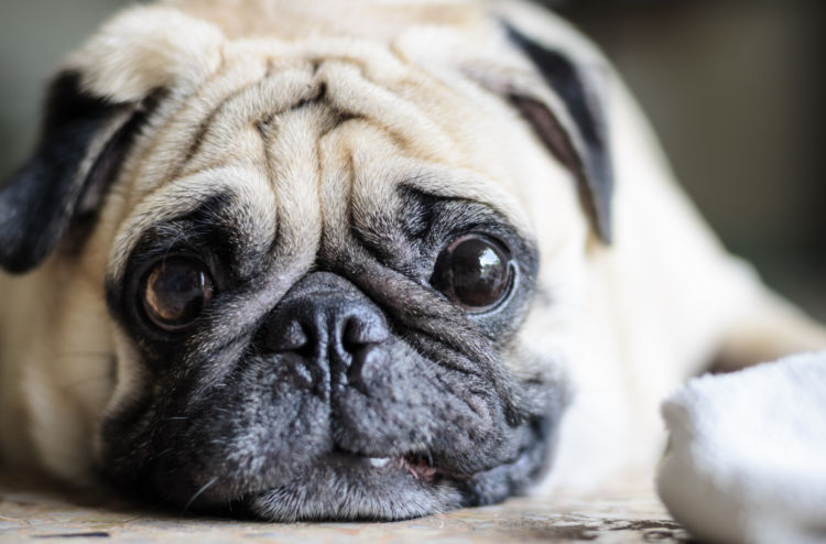 犬 中耳炎 眼振