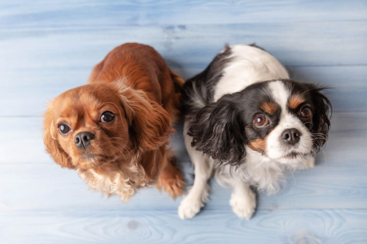 発症しやすい犬種②【外耳道に毛が生えている犬種】