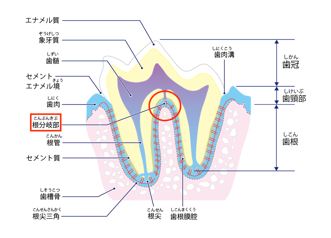 ポメラニアンの歯のトラブル⑤【変形歯】