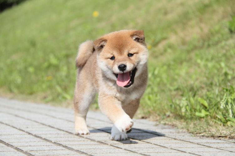 【獣医師監修】柴犬の乳歯の生え変わり時期と順番は? 歯並びが悪い場合は矯正が必要?歯磨きのやり方は?