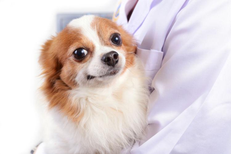 チワワの歯のトラブルに保険は使用できる?