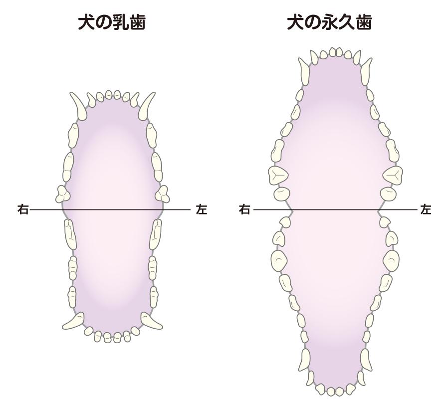 犬の乳歯(左)と永久歯(右)の歯並び