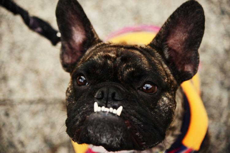 フレンチ・ブルドッグの歯並び・噛み合わせが悪い場合は矯正が必要?