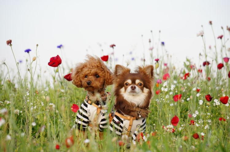 犬種によってシャンプーの頻度は違う?(トイ・プードル、チワワなど)