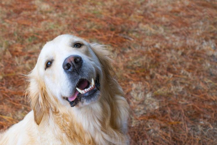 【獣医師監修】ゴールデン・レトリーバーの乳歯の生え変わり時期は?歯磨きのやり方や歯並びが悪い場合は?