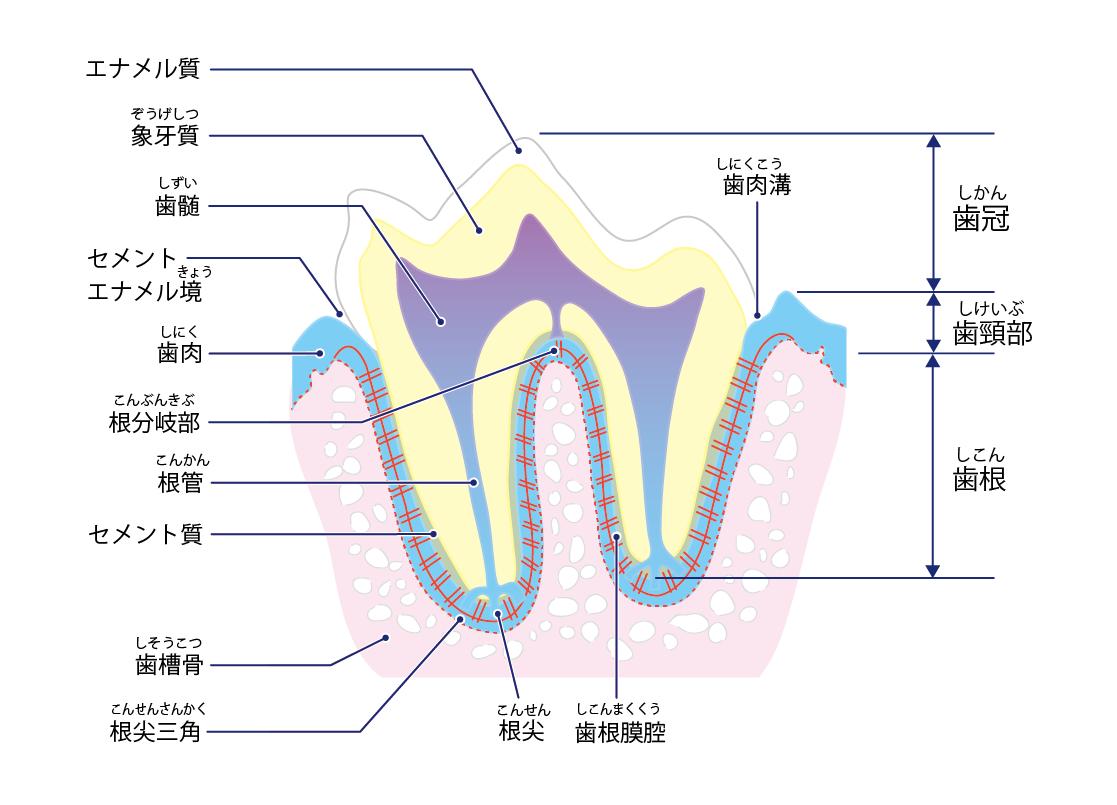 【犬の歯の構造】