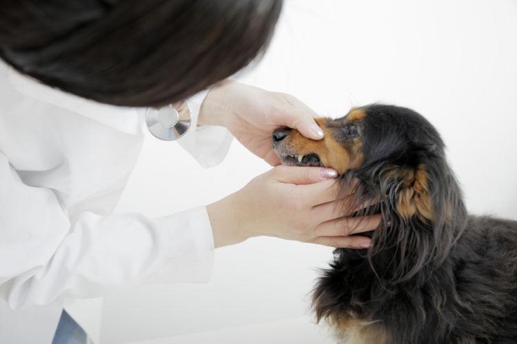 ミニチュア・ダックスフンドの歯のトラブル④【内歯瘻(ないしろう)/外歯瘻(がいしろう)