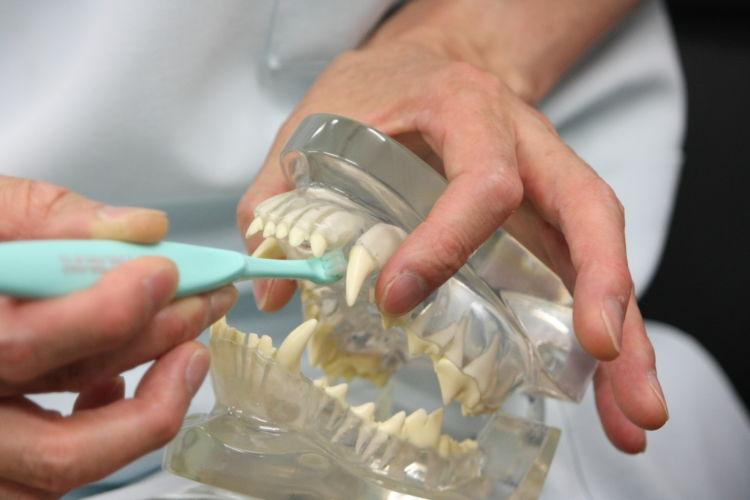 【犬の歯の開け方】写真提供:フジタ動物、大塚良重
