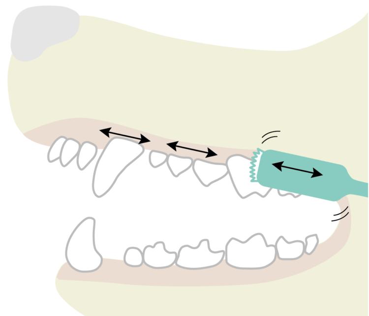 歯ブラシを歯と歯肉の境目あたりにあてて左右に細かく動かしながら磨くと歯肉溝の汚れを落とすのに効果的