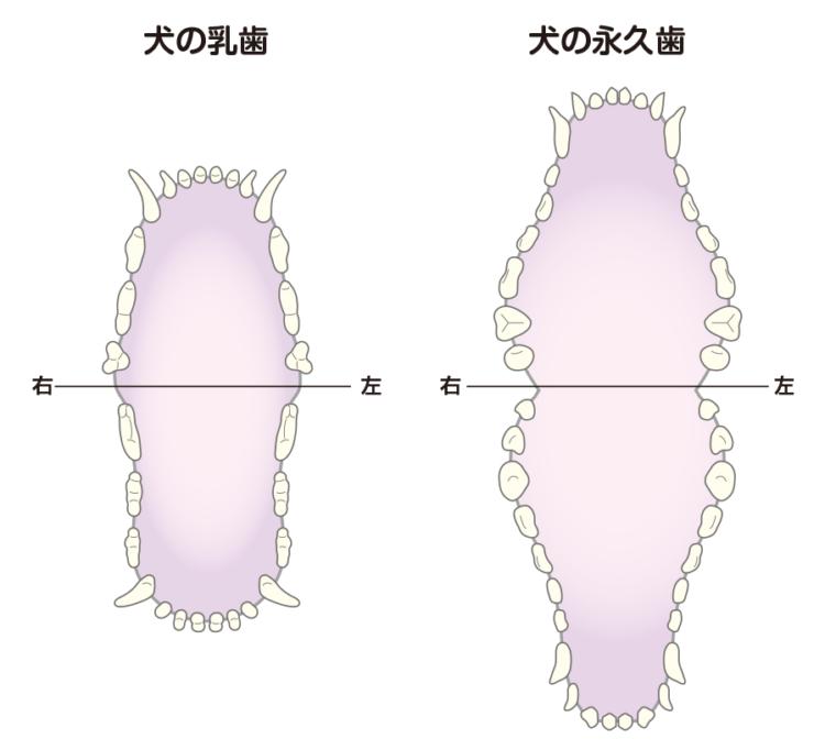 【犬の乳歯(左)永久歯(右)の歯並び】