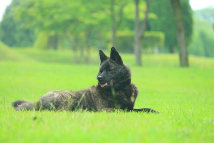 秩父虎毛または縞狼と呼ばれた犬(山犬)