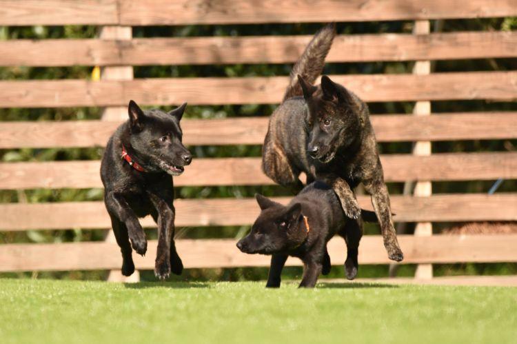 日本犬保存会初の展覧会に17頭が出陳されたことで注目