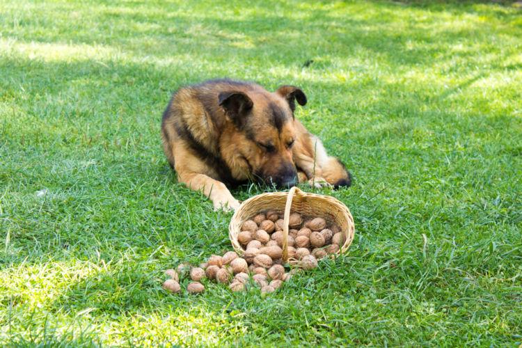 【獣医師監修】犬にくるみを食べさせても大丈夫?高カロリーのくるみは注意が必要!