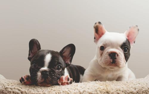 子犬を迎えた飼い主が知っておきたい生後4カ月までの育て方