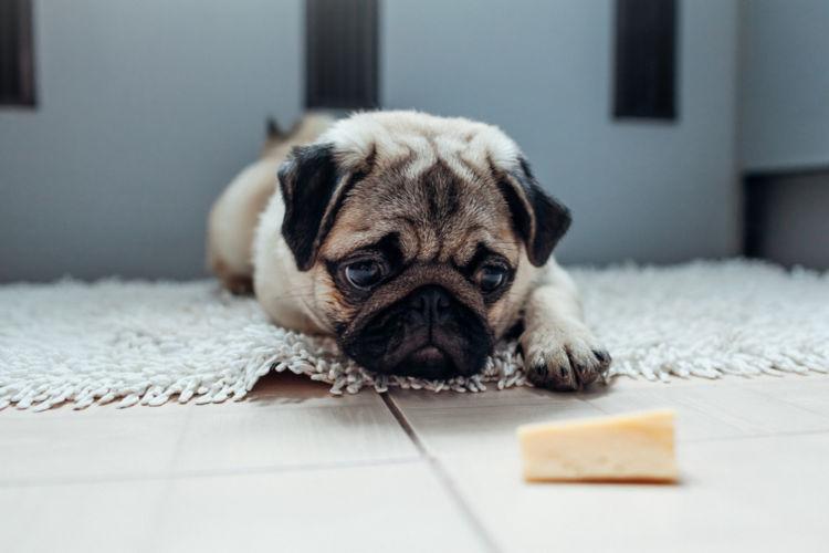犬が人間用のチーズを食べても大丈夫!塩分は?