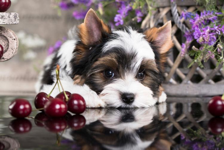 【獣医師監修】犬がさくらんぼを食べても大丈夫?柄や種子には注意!アレルギーや適量は?