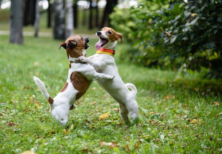けんか?それとも、遊び?犬同士のじゃれ合いとけんかの区別の仕方