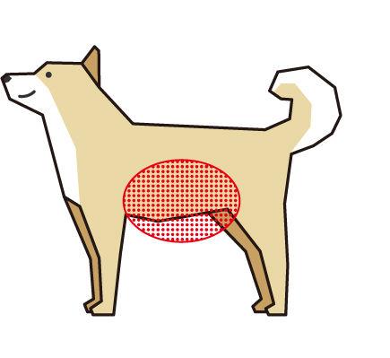 犬のお腹の出具合をチェック(ボディコンディションスコア(BCS)4つのチェックポイント)