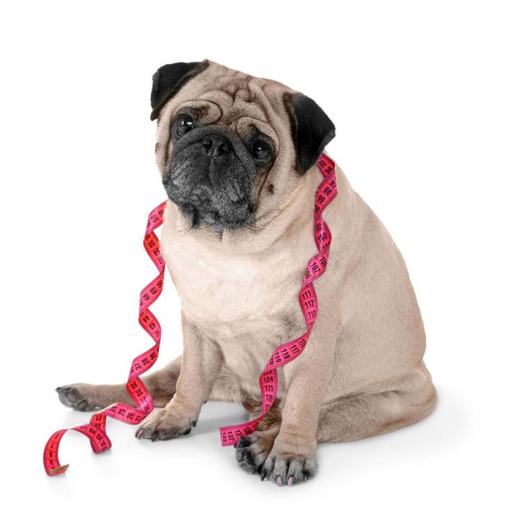 犬の肥満と呼吸器への影響