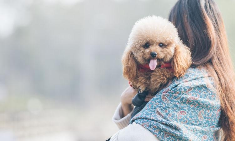 トイ・プードルなどの小型犬はなぜ人気なの?