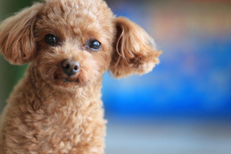 【獣医師監修】トイ・プードル(小型犬)の性格や種類、飼い方。歴史、原産国や大きさは?
