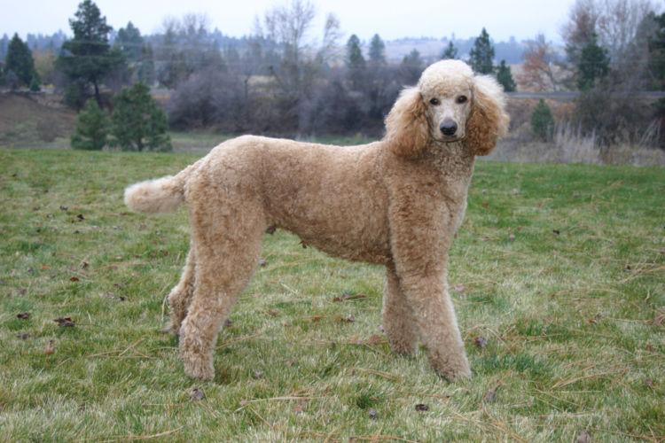 プードルの原型は大型犬のスタンダード・プードル。原産国はフランス。