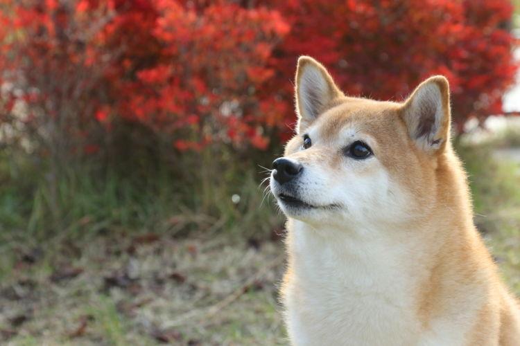 【獣医師監修】柴犬の性格や特徴、飼い方。歴史、寿命、主な病気や価格は?
