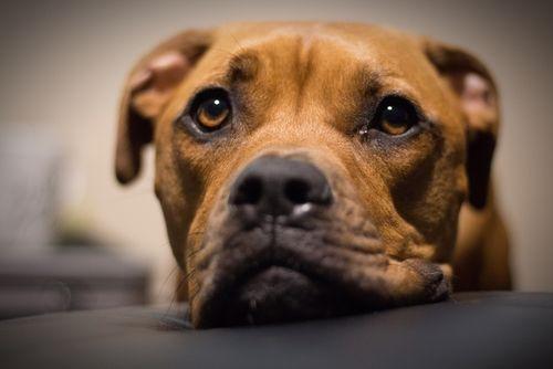 【獣医師監修】世界最強の闘犬!「ピットブル」絶対知っておくべき特徴と意外な素顔や性格とは?