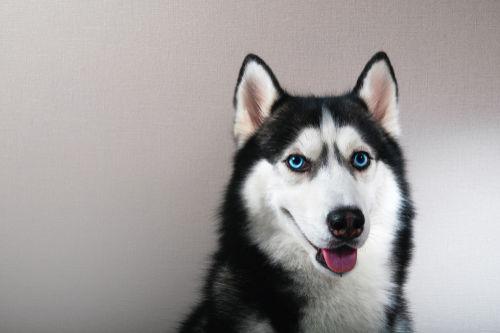 【獣医師監修】シベリアン・ハスキーはオオカミに近かった!「美しい瞳の楽天家!」