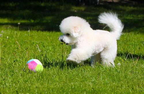 ビション・フリーゼは理想の家庭犬!