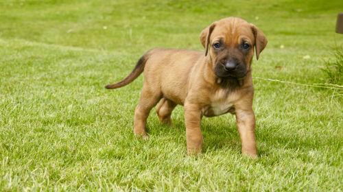 土佐犬を購入する際、一般的な値段(相場)はどれくらい?