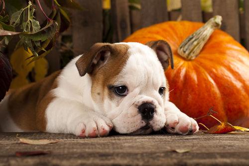 【獣医師監修】犬がかぼちゃを食べても大丈夫?かぼちゃの種や皮には注意が必要!