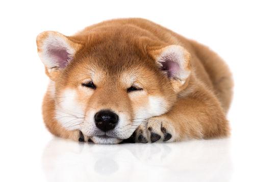 犬がぶどうを食べると中毒症状(腎不全)を引き起こし、最悪死亡することも!