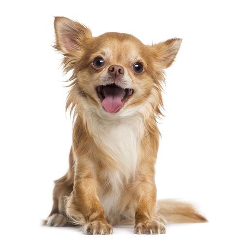 小型犬にバナナを与える際のおおよその量
