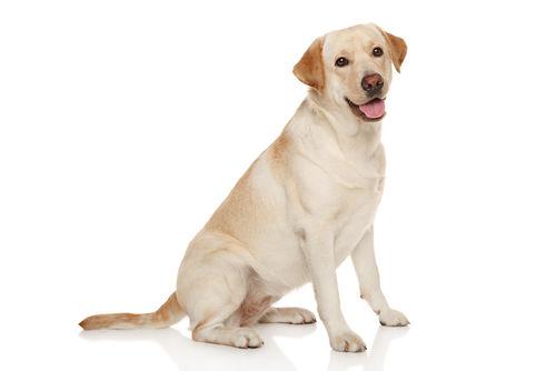 大型犬にバナナを与える際のおおよその量