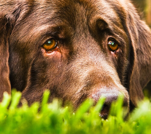 犬が泣くのは悲しいから?犬の涙に隠された意外な事実