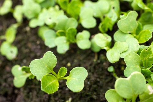 小松菜に含まれる栄養素①「鉄分」