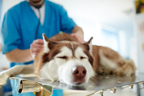 愛犬に里芋を与える際は、シュウ酸の過剰摂取による尿路結石症に注意!