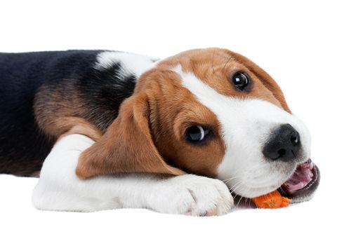 【獣医師監修】愛犬がにんじんを食べても大丈夫?「生」にんじんや「ネギ類」に要注意!