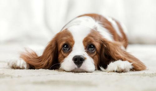 ブルーベリーを正しく与えて愛犬の健康を守りましょう!
