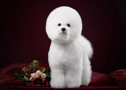 【獣医師監修】ビション・フリーゼ 活発で陽気な性格 白くてふわっふわな毛質が特徴