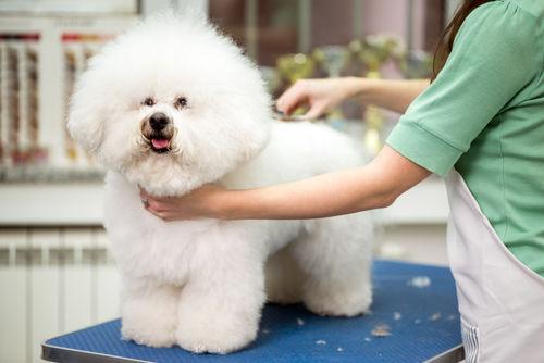 ビション・フリーゼの飼い方~毛の手入れは毎日