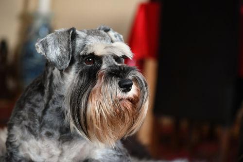 【獣医師監修】シュナウザーの種類と特徴、飼い方。おじいちゃんみたいな顔がかわいい。