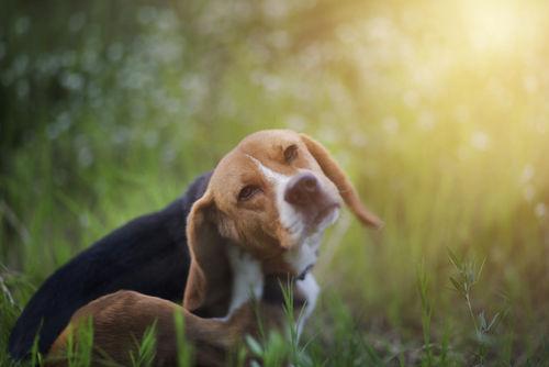 愛犬に牛肉を与えたいけど、アレルギーや下痢の危険性は?