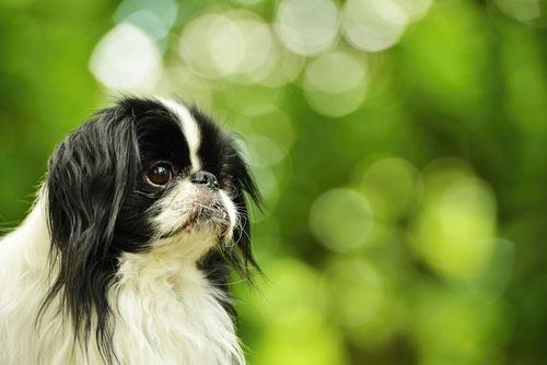 【獣医師監修】狆(チン)の性格や飼い方 日本の歴史を目撃した犬!?日本初の世界公認犬種