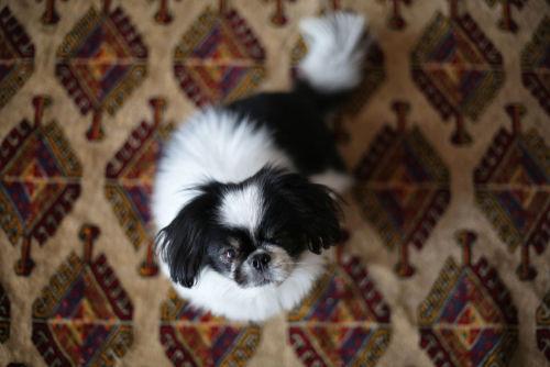 狆(チン)の飼い方~完全なる室内飼いの犬