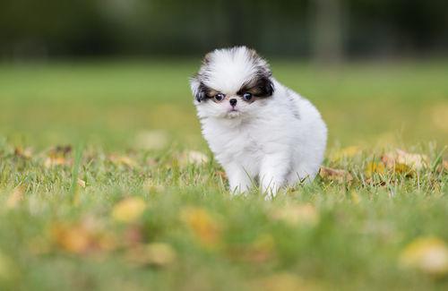 狆(チン)の性格~家庭犬として優秀な性格