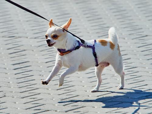 散歩中の犬の興奮を抑えて引っ張り癖を直す、2つの方法
