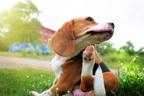 犬にゴマを与える際の注意点は?アレルギーは大丈夫?適量は?